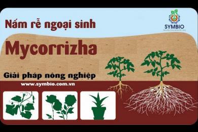 Mycorrizha - giải pháp giúp cây trồng thích nghi với biến đổi khí hậu!